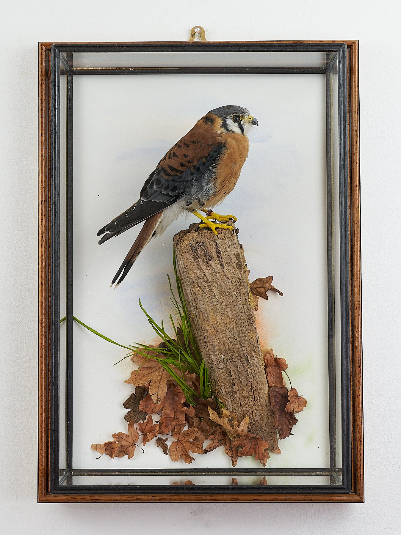 American Kestrel mg8587 | UK Bird Small Mammal Taxidermist ...