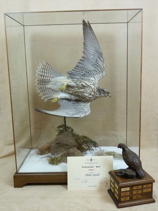 taxidermy falco rusticolus gyrfalcon flying winner