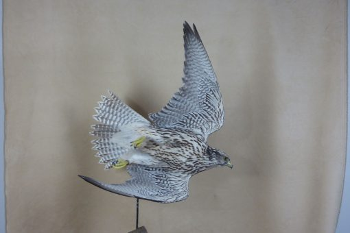 taxidermy falco rusticolus gyrfalcon flying side