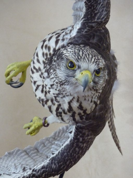 taxidermy falco rusticolus gyrfalcon flying closeup
