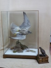 taxidermy falco rusticolus gyrfalcon flying