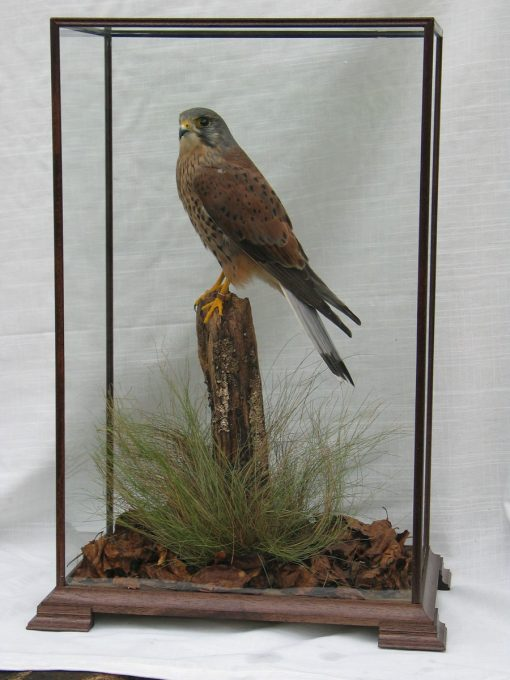 taxidermy Kestrel Male in Glass case
