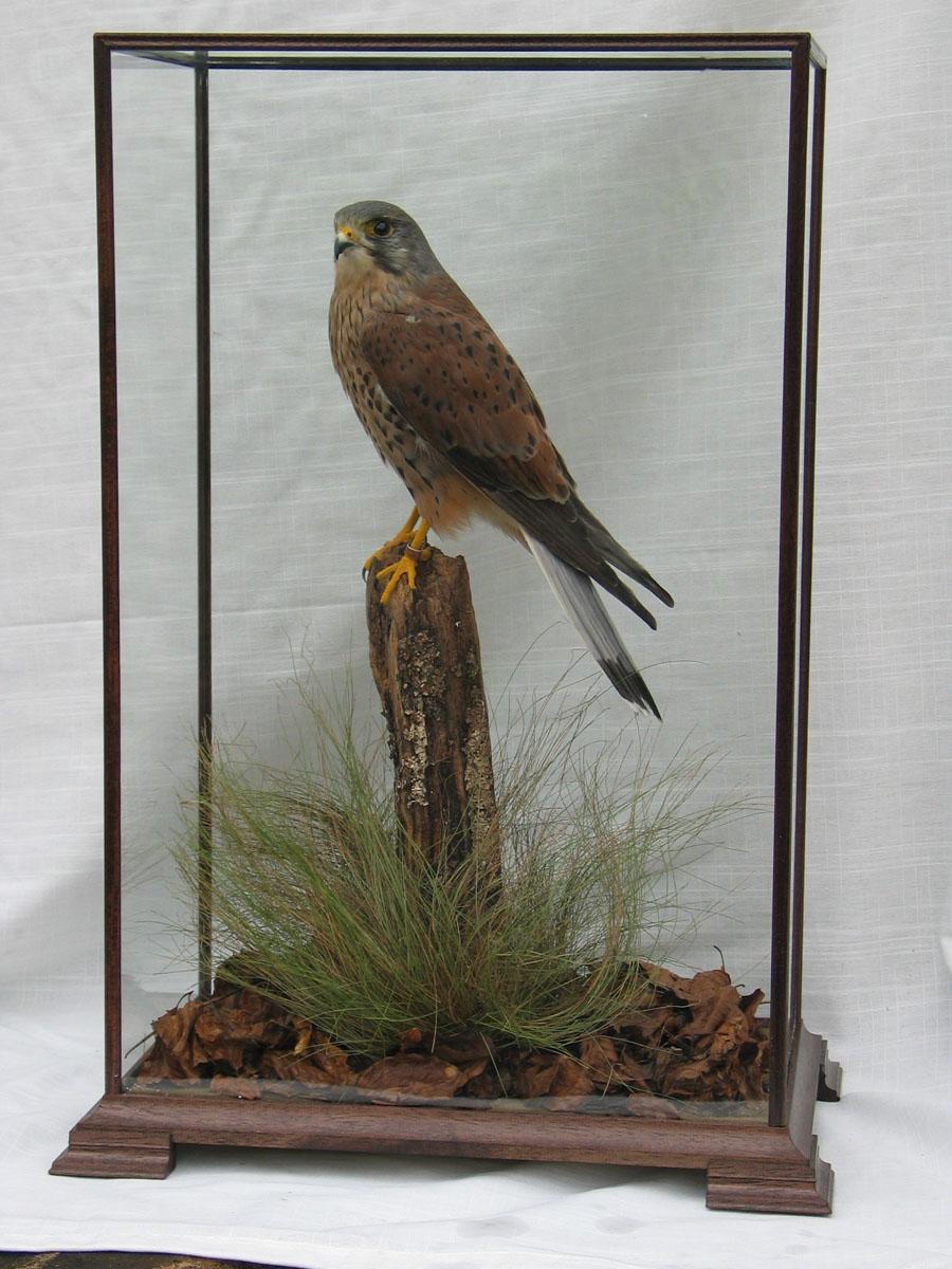 taxidermy Kestrel Male in Glass case