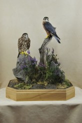 pair of Merlins Bird Taxidermy no glass