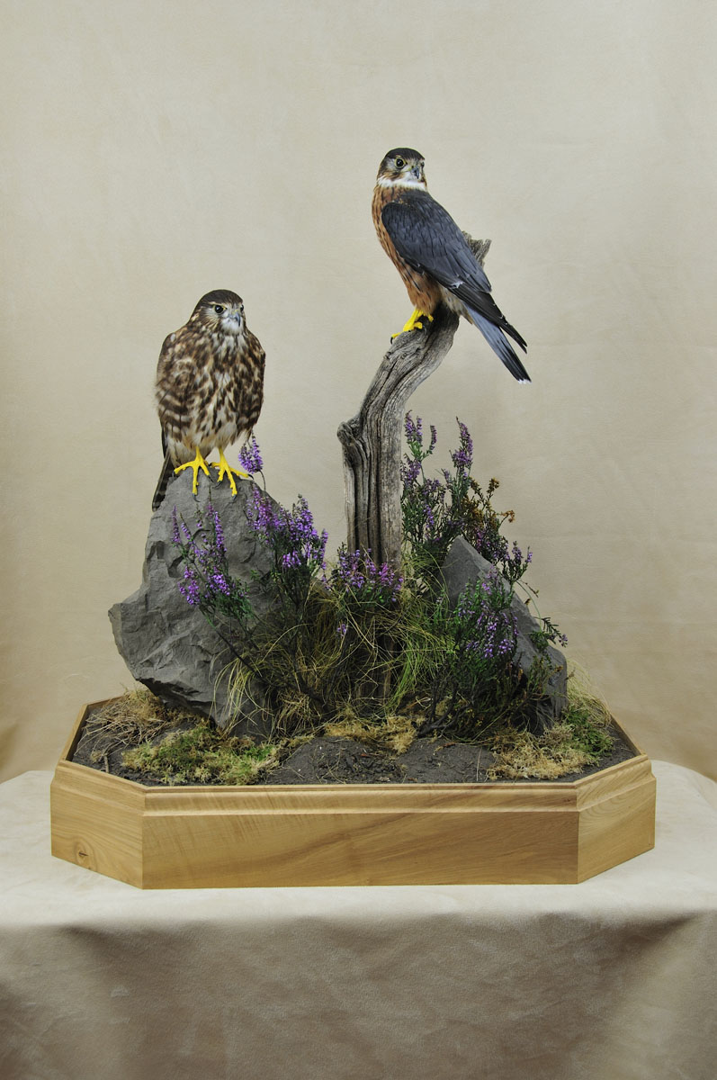 pair of Merlins Bird Taxidermy no glass