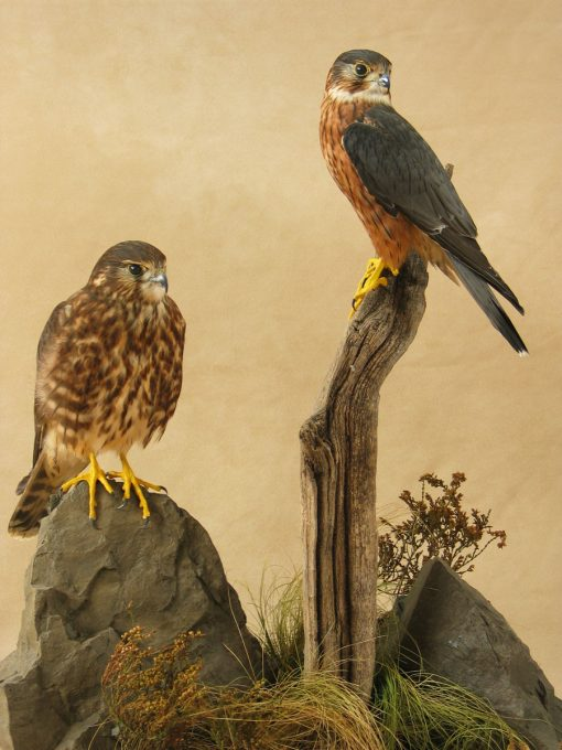 Male & Female Merlin Bird Taxidermy Mounts