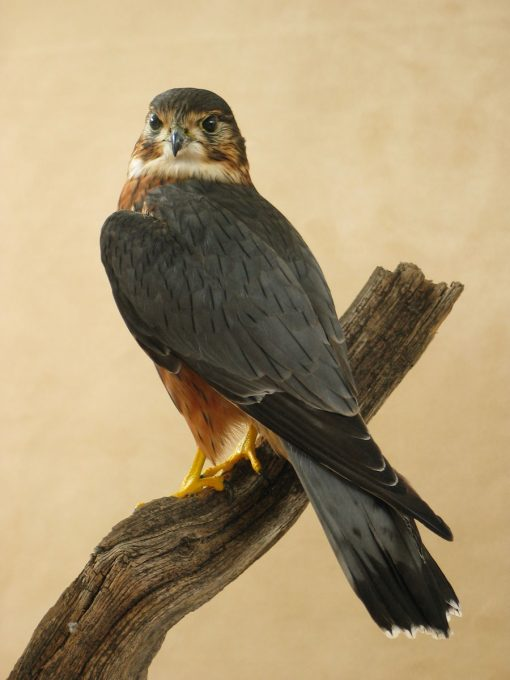 Male Merlin Bird Taxidermy