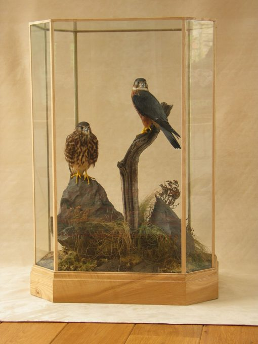 Male & Female Merlin Bird Taxidermy Mounts cased