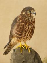 Female Merlin Bird Taxidermy