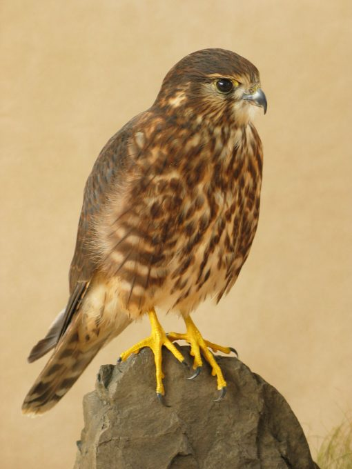 Female Merlin Bird Taxidermy