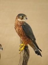 Male Merlin Bird Taxidermy