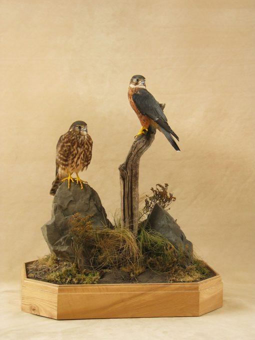 pair of Merlins Bird Taxidermy cased