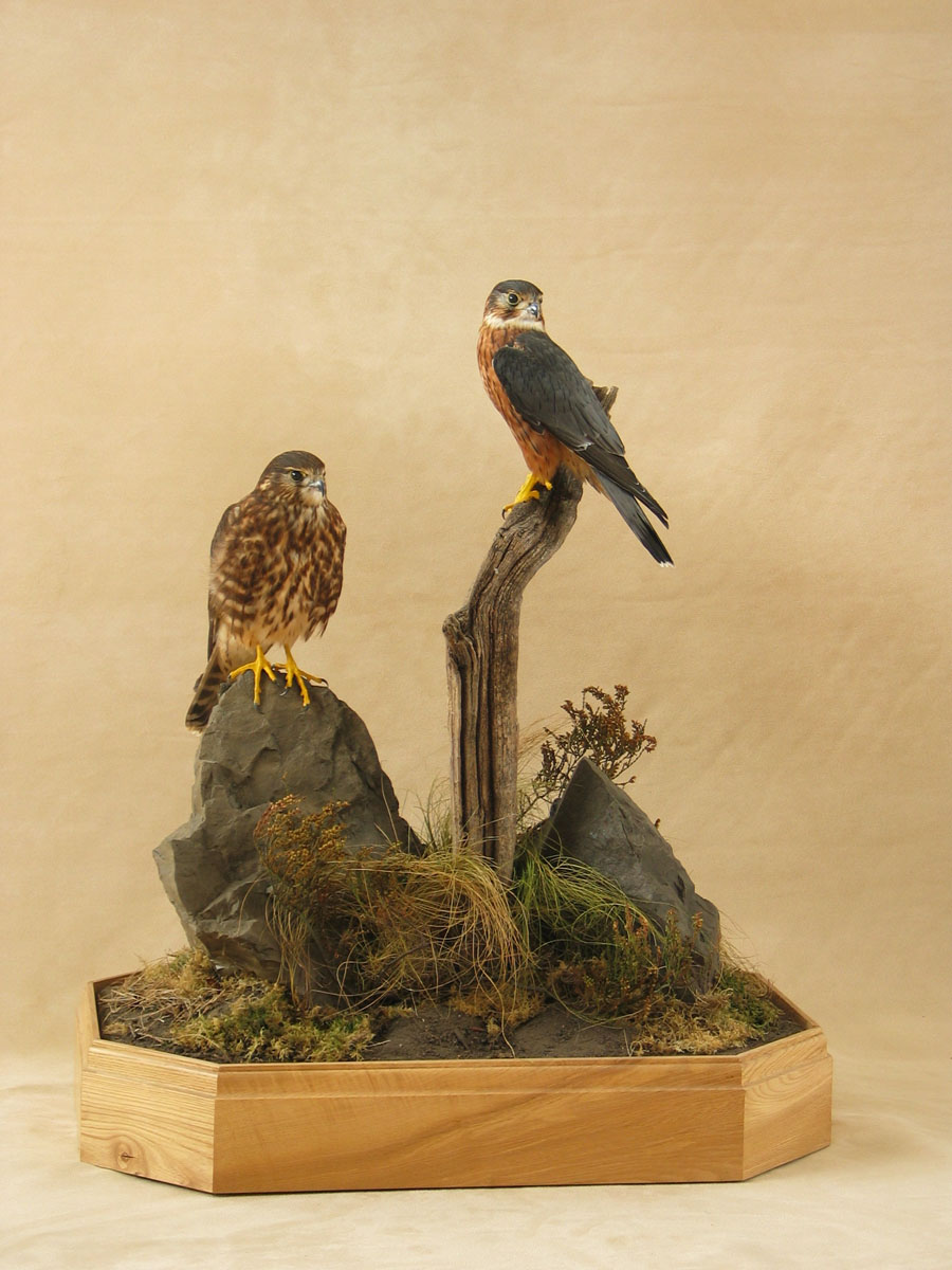 pair of Merlins Bird Taxidermy cased
