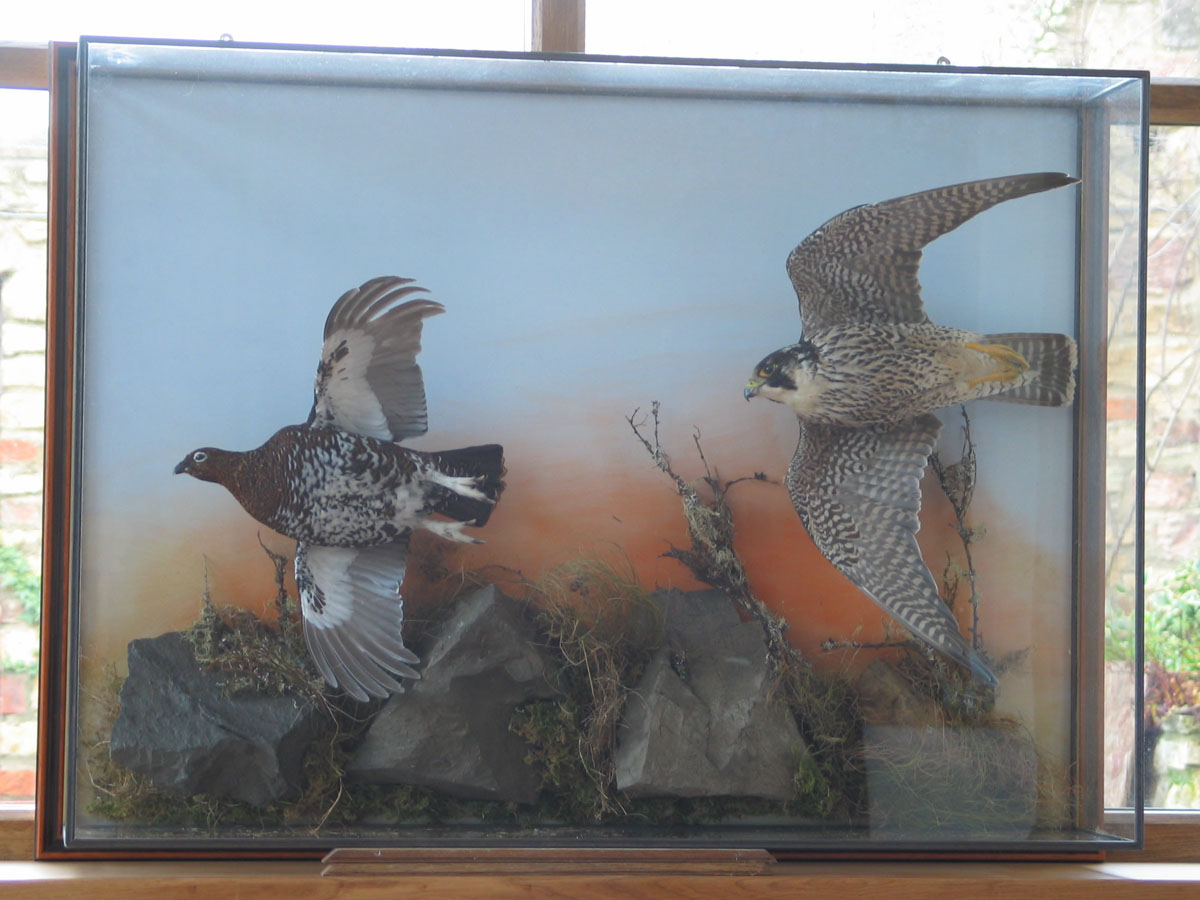 Peregrine Falcon Taxidermy flying 2