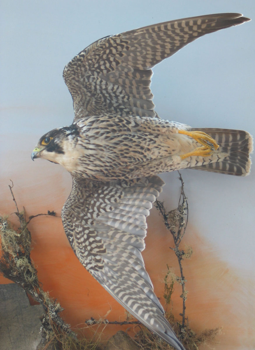 Peregrine Falcon Taxidermy flying closeup