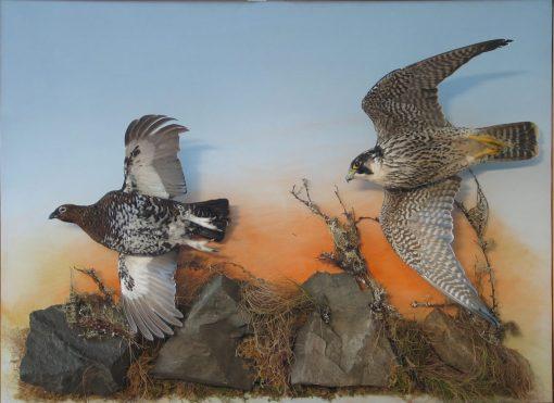 Peregrine Falcon Taxidermy flying 5
