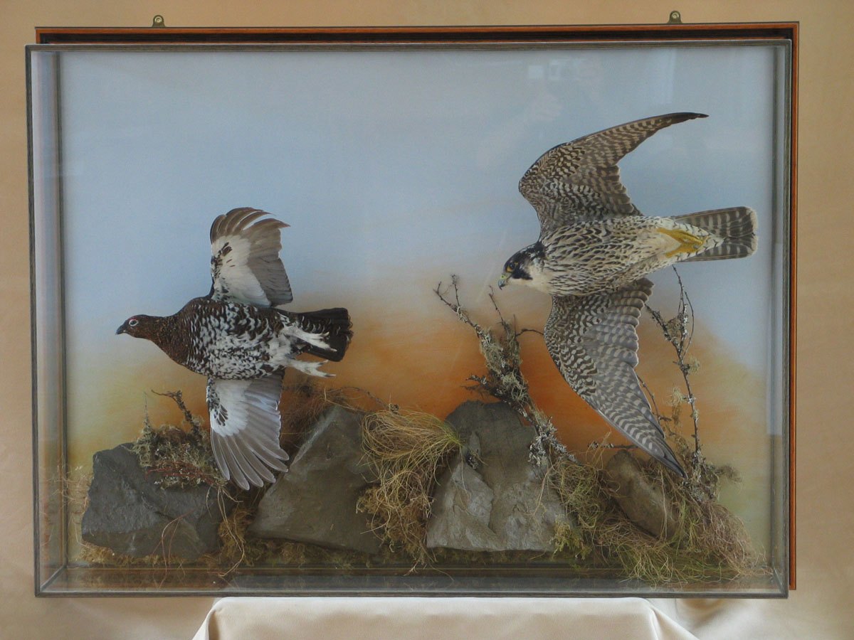 Peregrine Falcon Taxidermy flying case