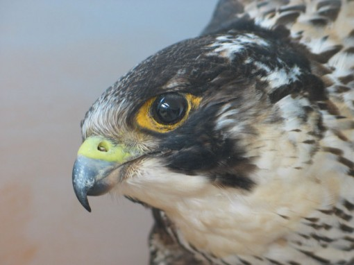Peregrine Falcon Taxidermy flying closeup 2