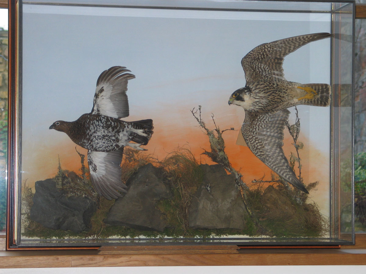 Peregrine Falcon Taxidermy flying 7