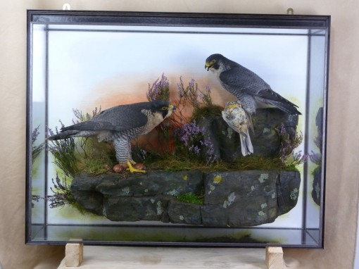 Peregrine Falcon Taxidermy at Nest 2