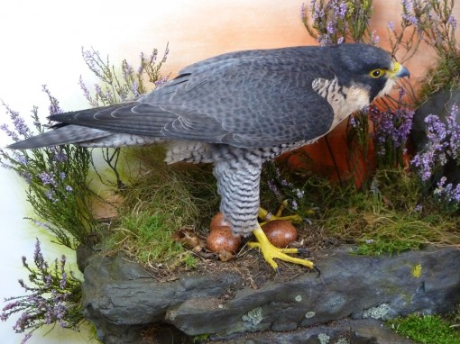 Peregrine Falcon Taxidermy eggs (Plaster)