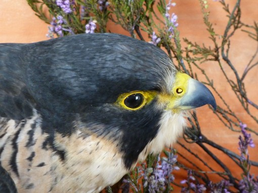 Peregrine Falcon Taxidermy head