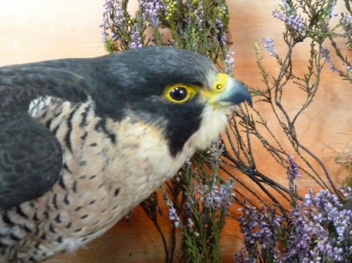Peregrine Falcon Taxidermyhead female