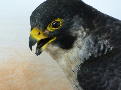 Peregrine Falcon Taxidermy head 2