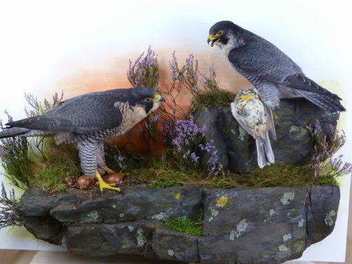 Peregrine Falcon Taxidermy at Nest