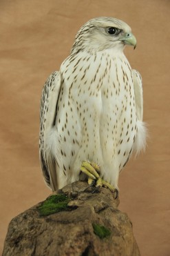 Gyrfalcon taxidermy Bird winner 2009