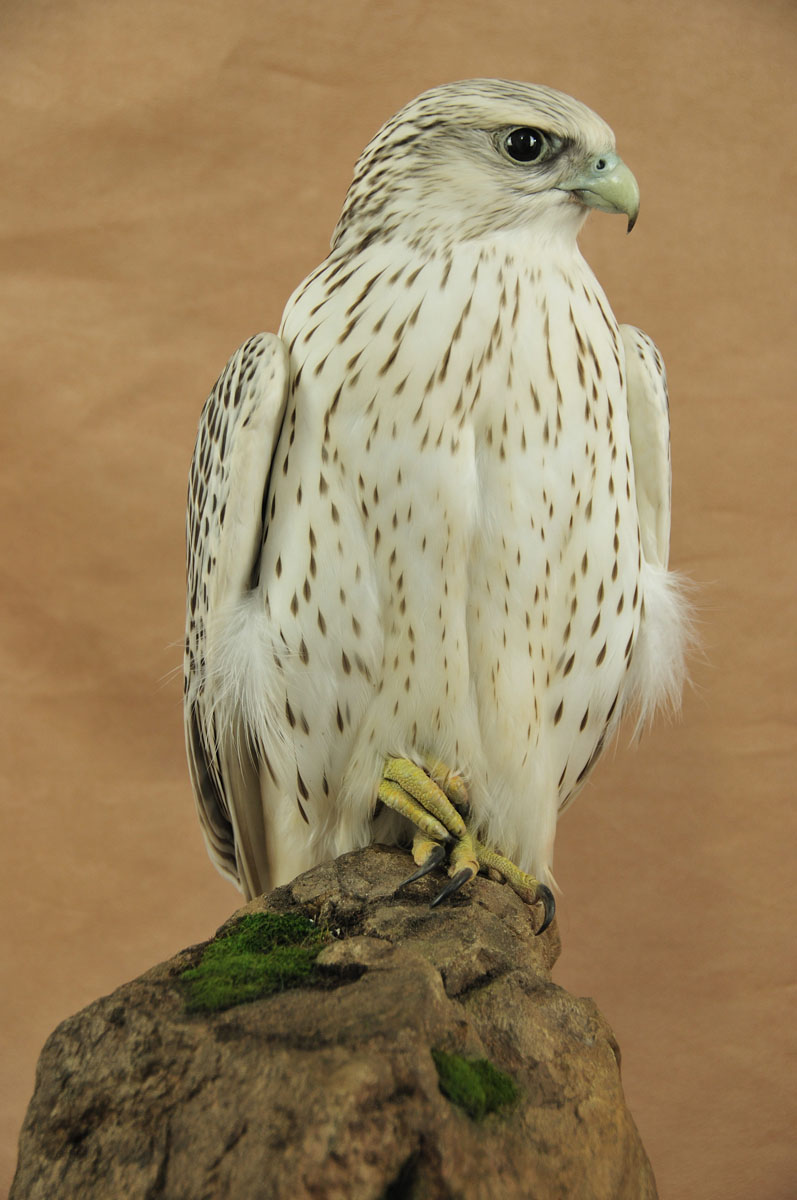 Gyrfalcon Bird Competition Winner 2009 - UK Bird Small ...