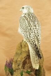 Gyrfalcon taxidermy Bird winner 2009 back 2