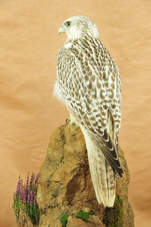 Gyrfalcon taxidermy Bird winner 2009 back 2