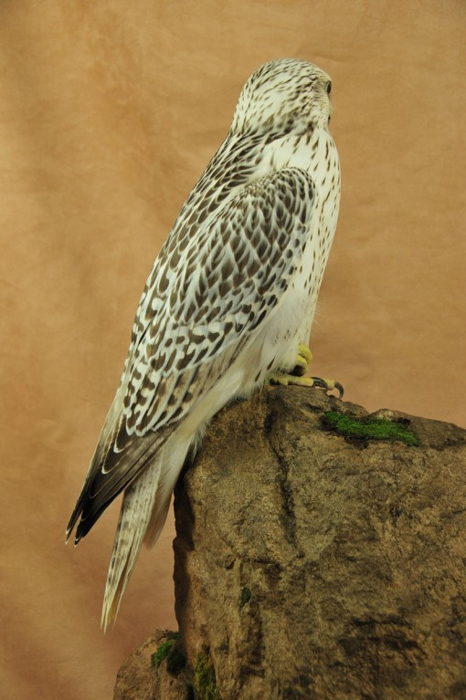 Gyrfalcon taxidermy Bird winner 2009 back
